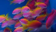 Anthias bimaculatus
