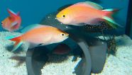 Anthias pavirostris